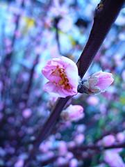 Agriturismo Tenuta Regina, fiori dipesco